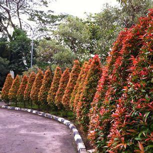 Biji Bunga Pucuk Merah jual bibit pucuk merah harga miring 081333395064 grosirbibitmurah sentral bibit tanaman dan