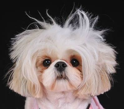haired shih tzu shih tzu haircuts miracle shih tzu
