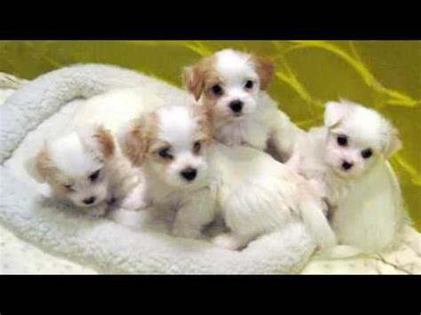 facts about havanese puppies havanese breeders all about havanese breeders