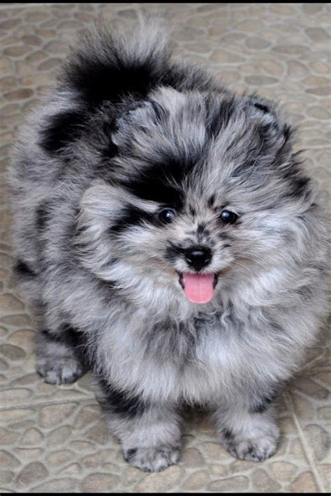 blue merle pomeranian puppies blue merle pomeranian mix breeds picture