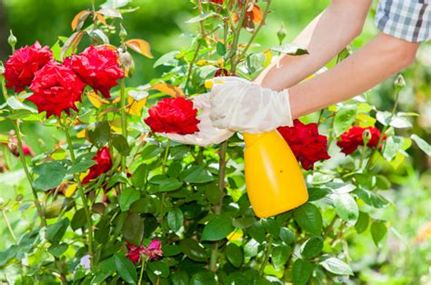 how to take care of roses dummies