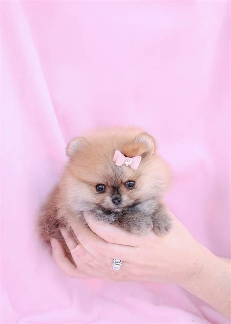 how much are teacup pomeranians tiny teacup pomeranians and pomeranian puppies for sale by teacups teacups puppies
