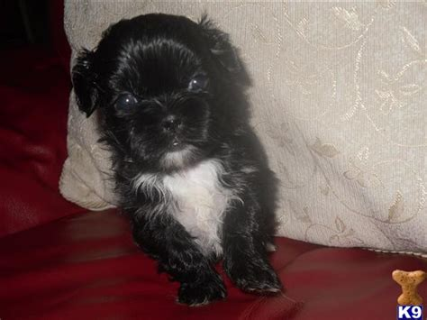 shih tzu puppies for sale vancouver island shih tzu puppies for sale in louisiana