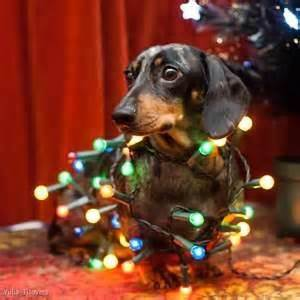 dachshund christmas lights 92 best doxies images on dachshund dachshunds and doggies