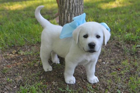 white lab puppy white labrador puppies for sale and from breeders