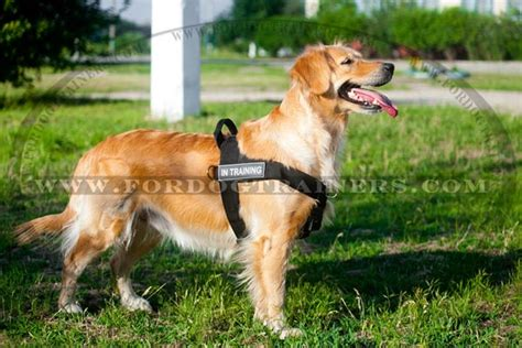 golden retriever in apartment muzzle equipment from trusted direct source home breeds picture