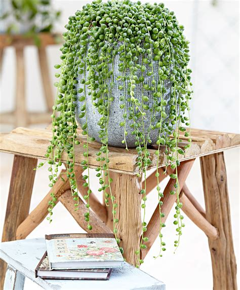 decoracion rosario planta rosario cuidados en interior y jardines el blog
