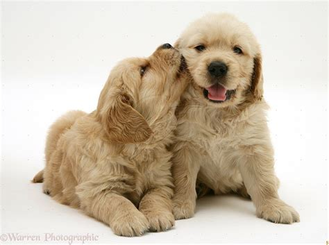 golden retriever puppy and baby baby golden retriever puppies images