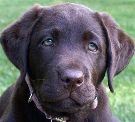 chocolate lab puppies ta 30 best images about favorite chocolate lab on