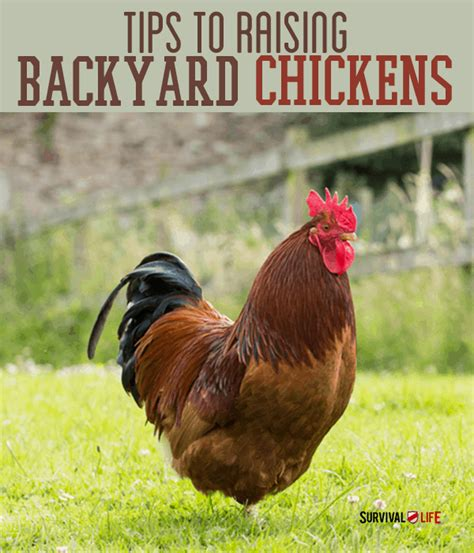 raising backyard chickens triyae com raising urban backyard chickens various