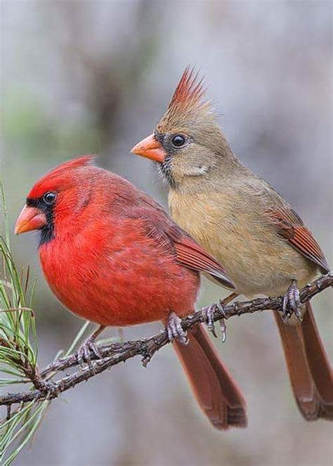 36 curated cardinals quot red birds quot ideas by