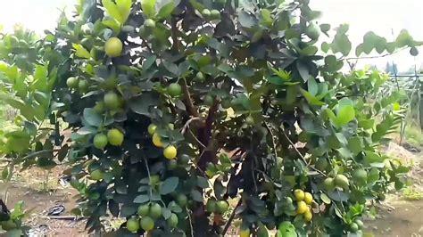 5 Bibit Bunga Santos Lemon panen lemon terbaik di indonesia