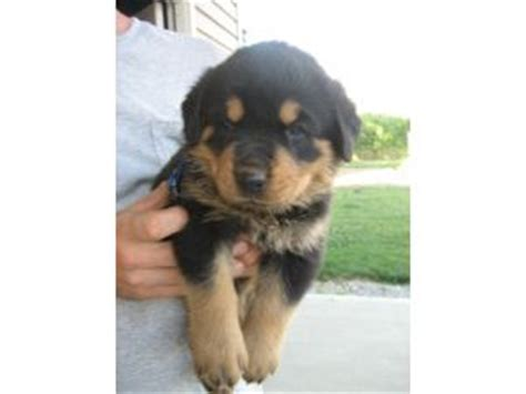 rottweiler puppies for sale in detroit rottweiler puppies without tails for sale