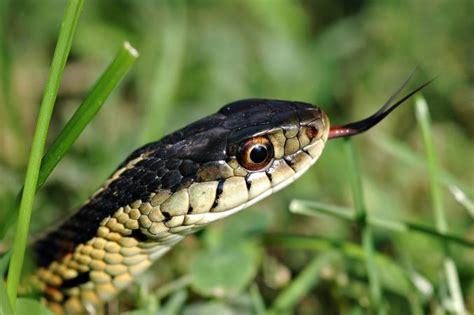 Garden Snake Identification Pictures To Identify Garden Snake Types
