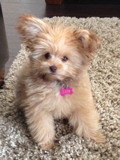 pomeranian poodle mix puppies for sale 1000 ideas about pomeranian on pomeranian puppy teacup pomeranian