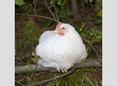 Rhode Island White Chickens - Baby Chicks For Sale ... White Chicken