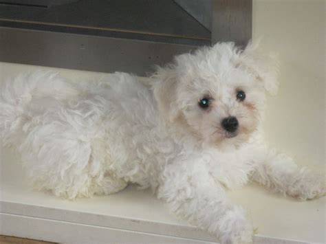 bichon puppies for sale bichon frise puppies for sale shrewsbury shropshire pets4homes