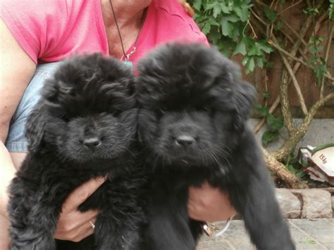 newfoundland puppy for sale beautiful newfoundland puppies for sale atherstone warwickshire pets4homes