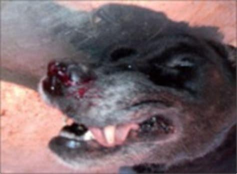 hemangioma in dogs hemangioma