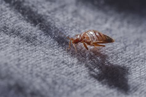 bed bug drug bed bugs growing resistant to common insecticides