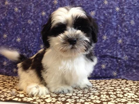 bichon shih tzu puppy bichon x cocker spaniel puppies for sale swanley kent pets4homes