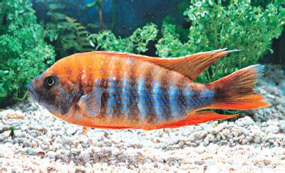 malawi cichlid ornamental fish wholesale export jy trading