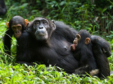 chimpanzee trekking queen elizabeth national park