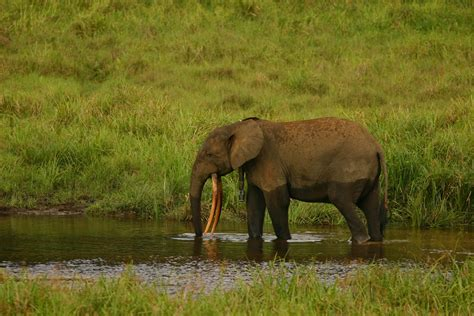 an forest elephant returns from the in gabon the new breed of eco warrior battling poachers to save gabon s forest elephants the independent
