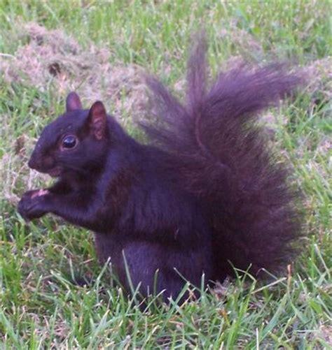 Cryptomundo 187 2006 S Top Ten White Black Squirrels Hot Black Squirrel