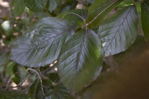 purple green leaves of a purple european beech tree