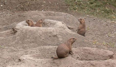where do dogs live where do prairie dogs live