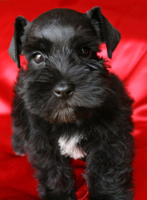 black miniature schnauzer puppies nike lonestar farms black miniature schnauzer