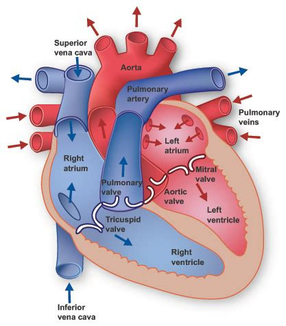 human heart cross section 301 moved permanently