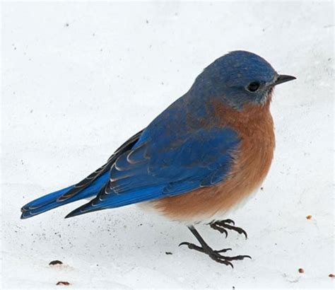 what do bluebirds eat in winter