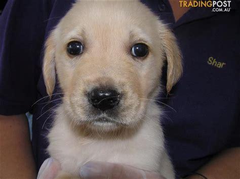 golden retriever puppies qld golden retriever x labrador gold puppies puppy shack brisbane for sale in brisbane