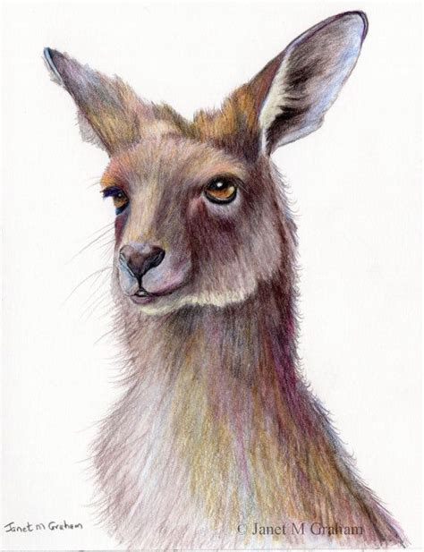 kangaroo australian wildlife animal sfa original coloured