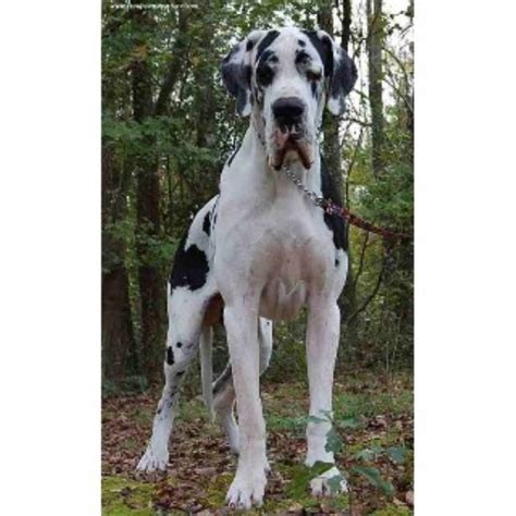 great dane bull puppies for sale vom hause faith european great danes great dane breeder in albertson carolina