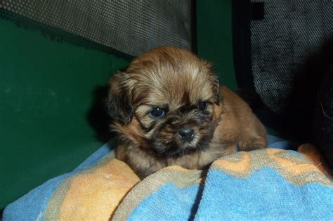 gold shih tzu puppies solid gold shih tzu reserved wallsend tyne and wear pets4homes