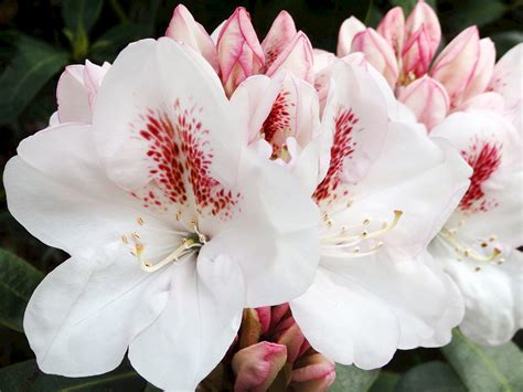 Spring Cleaning List by Rhododendrons Photo Galleries Mcbg Inc 2018 Fort