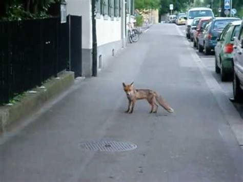 im der stadt fuchs mitten in der stadt z 252 rich a fox in the middle of
