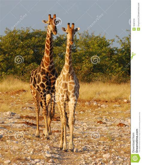 imagenes de jirafas apareandose pin imagenes de jirafas infantiles com portal pelautscom