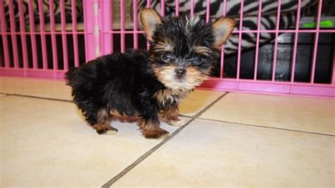 teacup yorkie ga charming teacup yorkie puppies for sale in at puppies for sale local breeders
