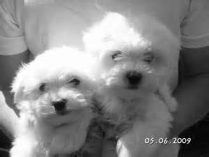 yorkie puppies for sale in chicago area maltese puppies in illinois