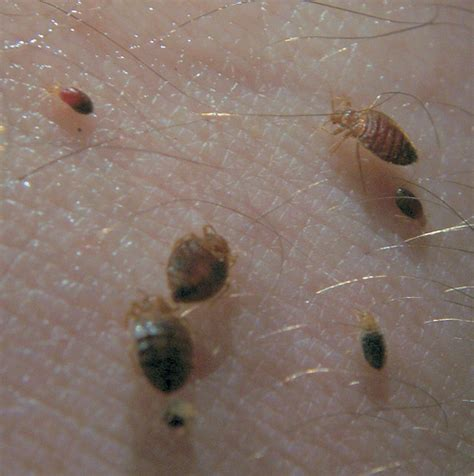what eats bed bugs bed bugs feeding flickr photo sharing