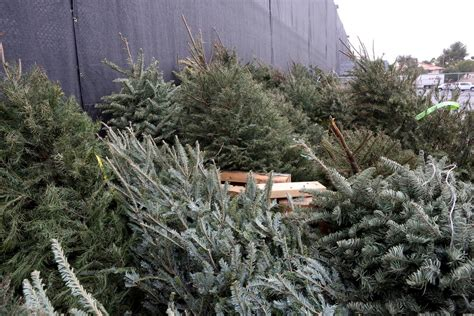 turn that christmas tree into mulch with recycling program