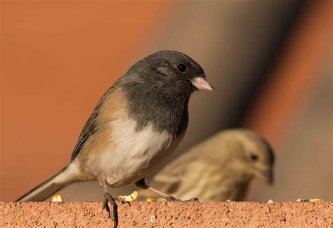dark eyed junco and house finch birdwatching