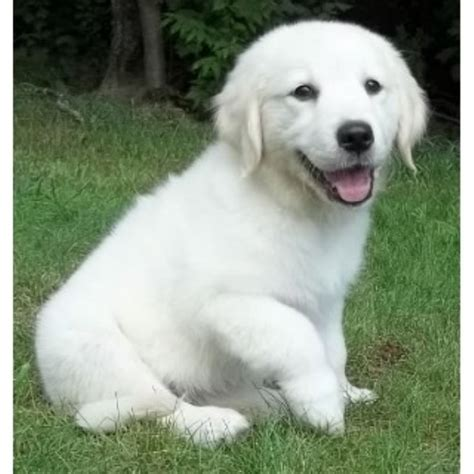 platinum golden retrievers home breeders rhode island breeders breeds picture