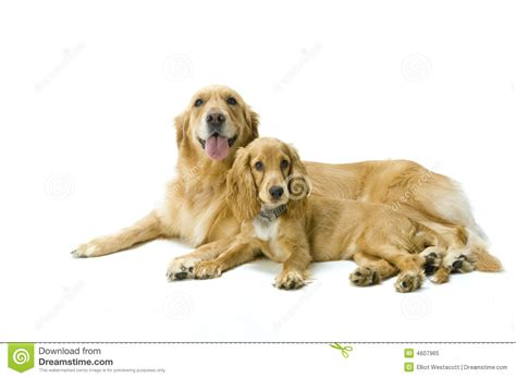 golden cocker retriever price golden retriever and cocker spaniel together royalty free stock photo image 4607965
