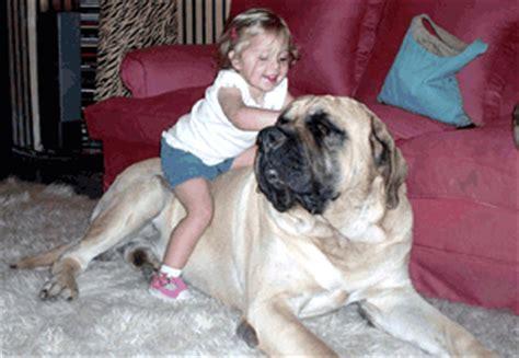 imagenes del mastin ingles cachorros de mastin ingles