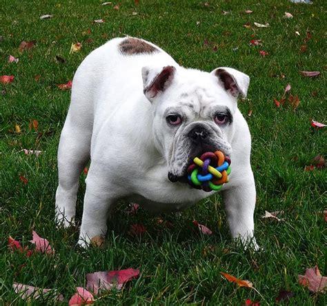 imagenes graciosas bulldog ingles bulldog ingl 233 s cuidados caracter 237 sticas y curiosidades